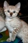 mimy - Shiny Bengala (10 meses)