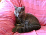 tjs mon bb d'amour - Shiny Chartreux Macho (4 años)