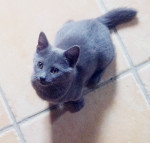 Melody - Shiny Chartreux (3 meses)