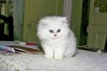 daisy - Shiny Angora turco (2 meses)