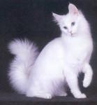 seletia654 - Shiny Angora turco (6 meses)