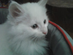 Sinenne - Shiny Angora turco Macho (8 meses)