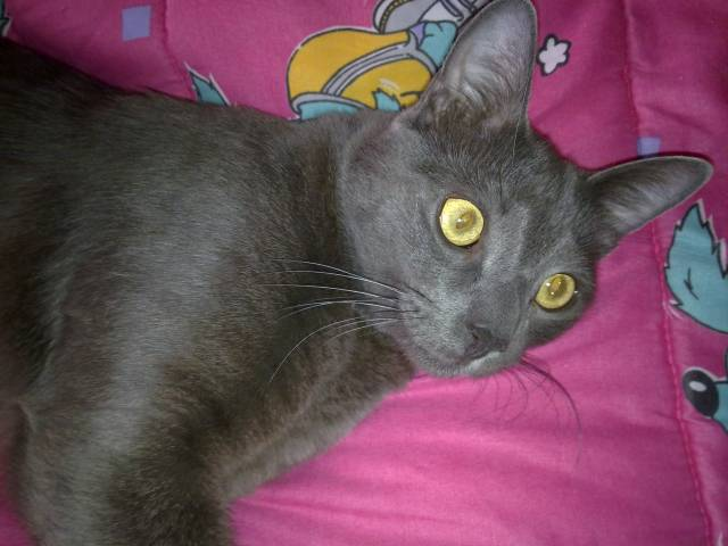tom - Azul ruso Macho (2 años)