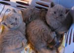Bb chartreux de la chatterie des felins bleus - Chartreux
