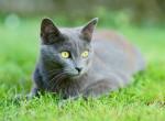 Un Chartreux aux yeux verts allongé dans l'herbe
