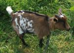 Cabra - (1 año)