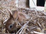 Conejo mediano - (2 meses)