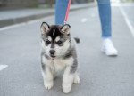 Un chiot Husky Sibérien en promenade en ville avec son maître