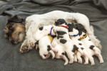 Une chienne Jack Russel allaite ses petits