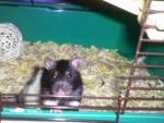 Rata - Macho (1 año)
