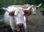 Vaca - (5 años)