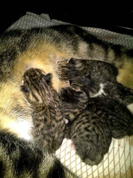 Gato Eskey -  Hembra (0 meses)